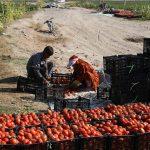 ارائه تولید مازاد گوجه فرنگی در استان کرمان جهت تعدیل بازار