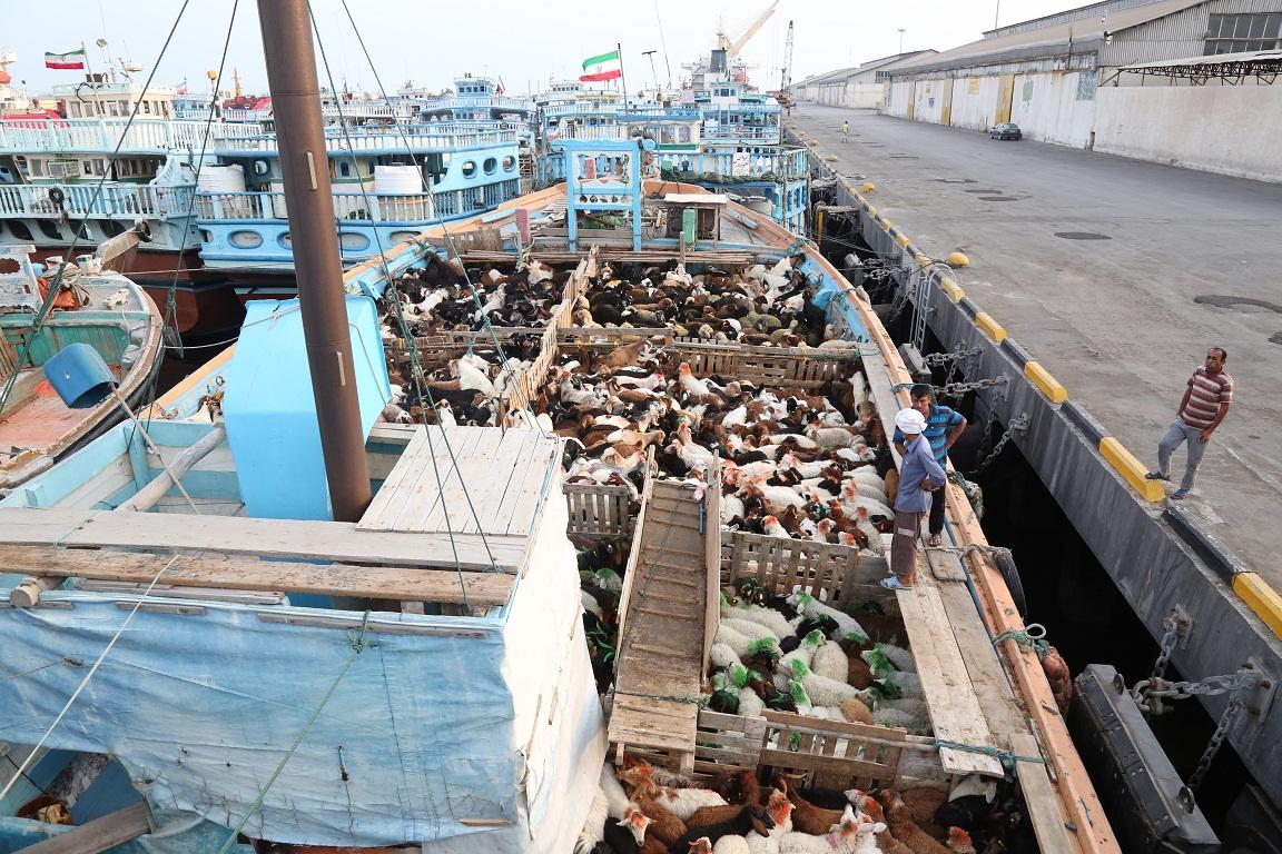 لغو ممنوعیت صادرات دام زنده